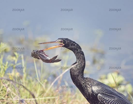 Anhinga bird with a large fish