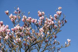 Magnolienbaum (Magnolia) vor blauem Himmel