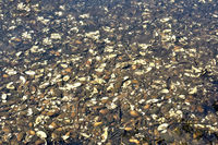 freshwater River Mussels (Unio crassus) in Creek,Schwalm-Nette Nature Reserve,Rhineland,Germany