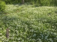 flourishing wild garlic plants
