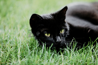 Close-up of black cat resting on green grass and watching something