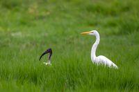 Great white egret, Ethiopia wildlife