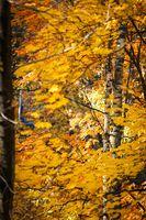 Falling autumn birch leaves