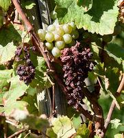 Vetrocknete, Weintrauben