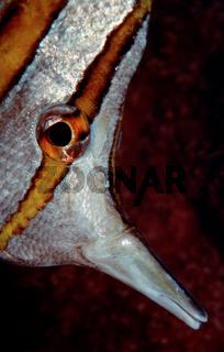Kupferstreifen - Falterfisch