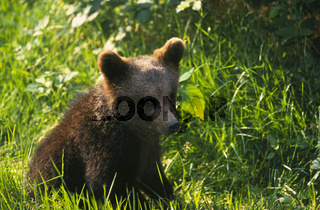 European Brown Bear / Europaeischer Braunbaer