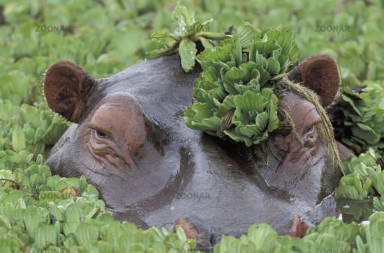 Hippopotamus, Flusspferd.
