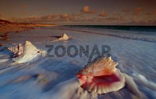 Conch am Sandstrand