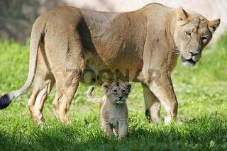 Asiatischer-Löwe