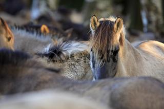 Wildpferd-Dülmen, Wildhorse-Duelmen, Germany
