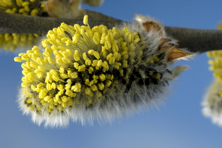 Great Sallow / Goat Willow / Salweide