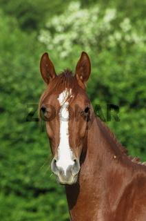Gidran Horse / Gidranpferd