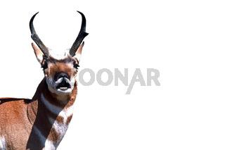 Pronghorn Gabelantilope Antilocapra americana Wyoming