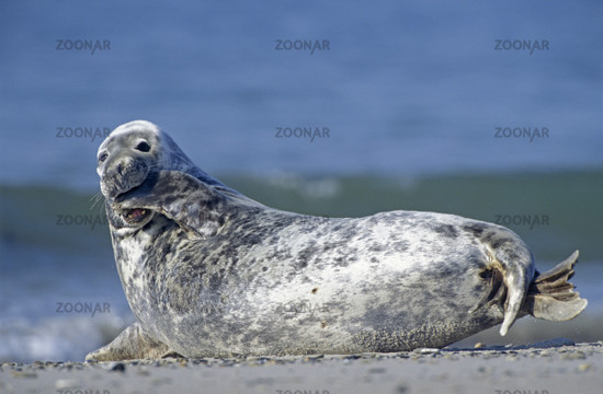 Grey Seal, Halichoerus grypus, North Germany, North Sea, Europe