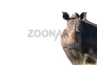 breitmaul-nashorn(ceratotherium simum)white rhinoceros