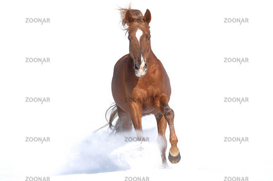 Russian thoroughbred horse in the snow