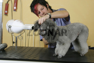 Toy Poodle in dog's salon / Zwergpudel in Hundesalon / Pudel