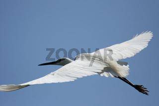 Seidenreiher (Egretta garzetta); Little Egret