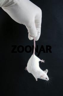 Laboratory Mouse | Labormaus