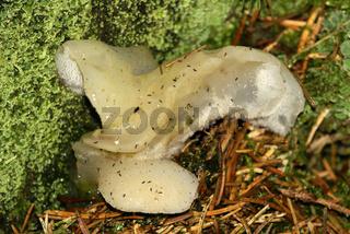 Zitterzahn, Pseudohydnum gelatinosum