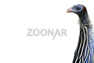 vulturine guineafowlsamburu