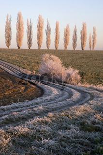 Pappeln auf einem Feld im Sonnenaufgang mit Raureif