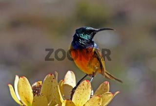 Nektarvogel, Sunbird, Südafrika, South Africa