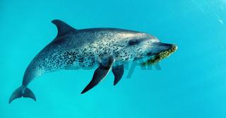 Atlantischer Fleckendelfin, Zuegeldelfin, Stenella frontalis, Bahamas