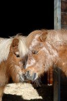 Two sweet Shetland Ponsy
