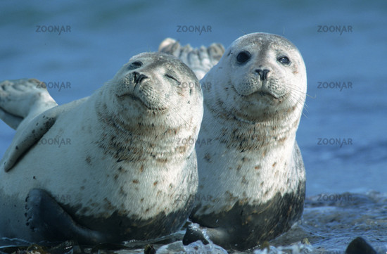 Common Harbour Seal, Phoca vitulina, North Sea, Germany