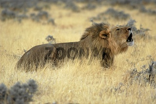 Afrikanischer Loewe, African Lion, Panthera Leo, Afrika, Africa