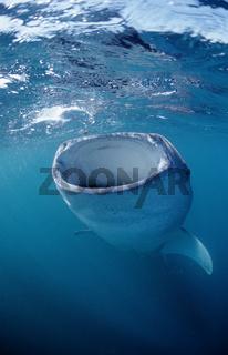 Walhai, fressender,  Rhincodon thypus, Whale shark, Afar Dreieck, Afrika, Afrikca