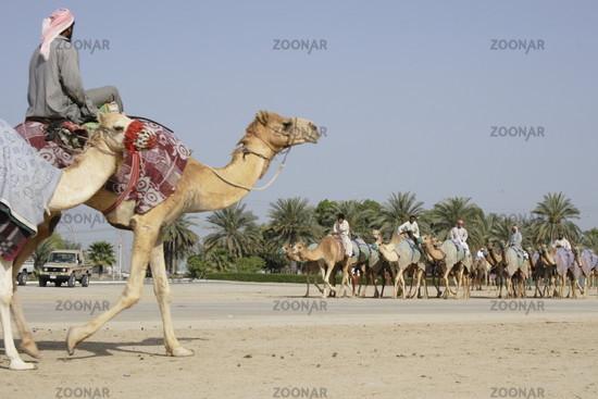two camel caravans are meeting, Dubai, Emirates