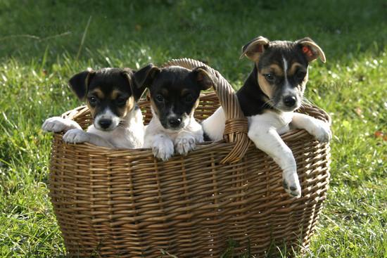 Jack Russel Terrier Puppys