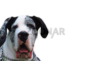 Deutsche Dogge, Canis lupus familiaris, domestic dog