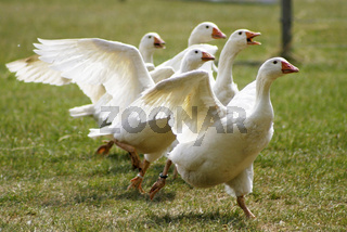 Hausgans, anser anser domestica, Domesticated Goose, Domesticated Fowl