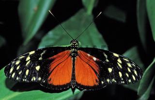 Heliconius Schmetterling