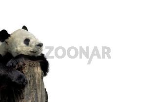 Grosser Panda / Bambusbär