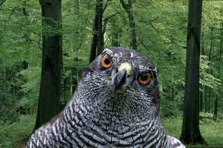 Goshawk,  Accipiter gentilis, Habicht, [Europa, europe, Greifvoegel, birds of prey