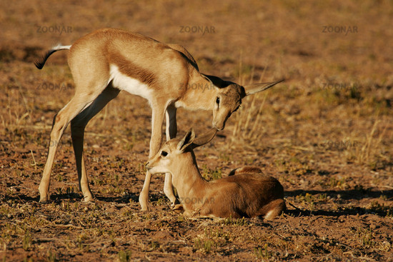 young springbok duo