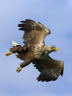 White-tailed Sea Eagle, Haliaeetus albicilla, Seeadler, Norway, Norwegen, Europa, Europe
