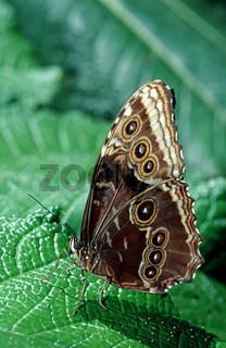 Tropischer Morpho Schmetterling
