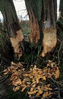 European Beaver / Europäischer Biber
