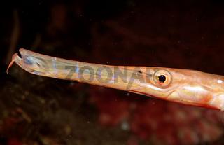 Trompetenfisch, Aulostomus chinensis, Trumpetfish, Bali,