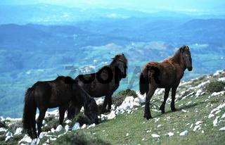 Asturcon Pferd, Equus przewalskii f. caballus, domestic horse