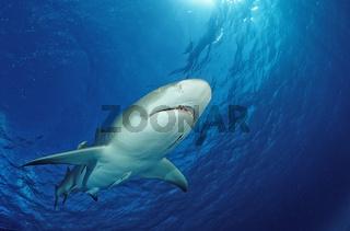 Zitronenhai, Negaprion brevirostris, Lemon shark, Bahahmas