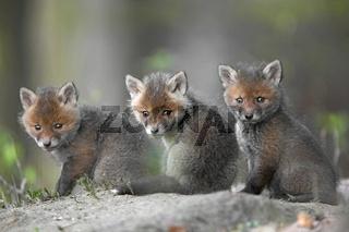 Rotfuchs, European Red Fox, Germany, Deutschland, Fuerstenfeldbruck
