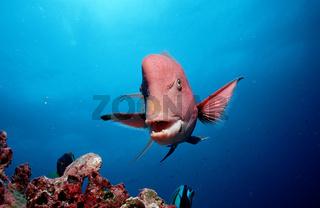 Harlekin - Lippfisch