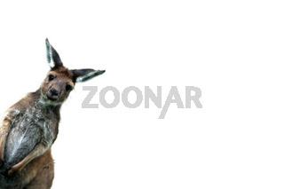 western gray kangaroocalgary zoo