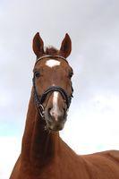 Bavarian Warmblood Horse with English Caveson